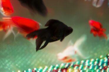 金魚の数で金運が変化する事があります